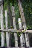 在篱芭的翠青蛇 免版税库存图片