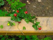 在木篱芭的森林草莓 免版税库存图片