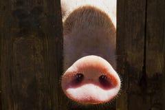 在木篱芭的猪鼻子 幼小好奇猪嗅到照片照相机 与猪的滑稽的村庄场面 免版税库存照片