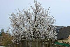 在木篱芭的白花樱桃树在街道 免版税图库摄影