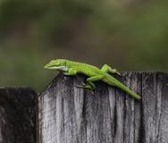在木篱芭的鲜绿色的Anole 库存图片