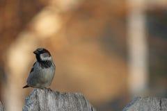 在木篱芭的麻雀 图库摄影