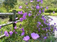 在木篱芭纠缠的国家紫色花 免版税库存照片