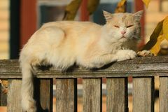 在木篱芭顶部说谎一只逗人喜爱的米黄猫以村庄房子为背景和神色在摄影师 免版税库存图片