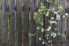 在木纹理的背景的开花的树 免版税库存图片
