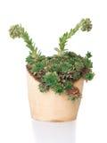 在木罐的绿色多汁植物sempervivum 免版税图库摄影