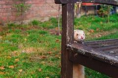 在木老长凳附近的米黄白鼬身分和享受自由步行在庭院里 家庭宠物概念 选择聚焦 复制空间 免版税图库摄影