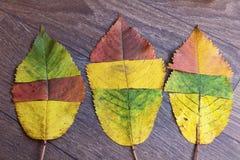 在木背景的五颜六色的秋天叶子 图库摄影