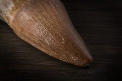 在木背景的化石Mosasaur牙与根 免版税库存图片