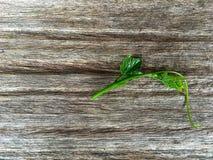 在木背景的常春藤金瓜 库存图片