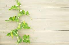 在木背景的新芽豌豆 库存照片