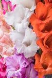 在木背景的新鲜的剑兰花 免版税图库摄影