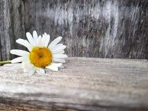 在木背景的春黄菊花,看法,选择聚焦的关闭 库存图片