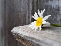 在木背景的春黄菊花,看法,选择聚焦的关闭 免版税库存照片