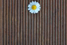 在木背景的春黄菊 免版税图库摄影