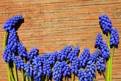 在木背景的穆斯卡里蓝色花 免版税库存照片