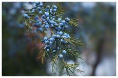 在木背景的等待的春天…花蕾 免版税库存照片