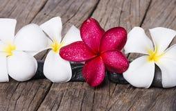 在木背景的赤素馨花或羽毛花 免版税图库摄影