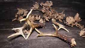 在木背景的鹿鹿角 库存图片