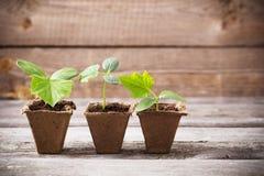 在木背景的黄瓜幼木 免版税库存图片
