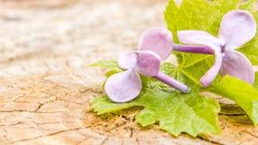 在木背景的紫罗兰色花 库存照片
