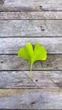 在木背景的Ginko biloba 绿色叶子药用植物 库存图片