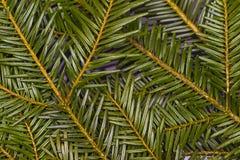 在木背景tre的圣诞节绿色杉木冷杉云杉分支 库存照片