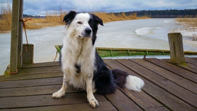 在木船坞的博德牧羊犬有背景的冻波罗的海的 免版税图库摄影