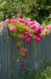 在木范围的桃红色玫瑰 免版税库存照片