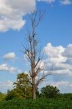 死在木薯领域的树 免版税图库摄影