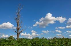 死在木薯领域的树 免版税库存图片