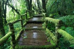 在木走道附近的青苔在雨林里 免版税图库摄影