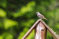 在木边缘的幼小知更鸟 库存照片