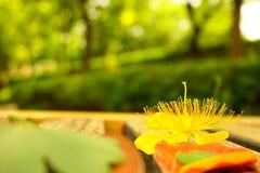 在木酒吧和绿色树背景的一朵黄色花 免版税库存图片