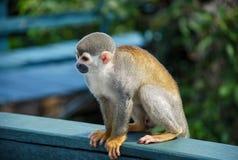 在木头供以座位的小的猴子 免版税库存照片