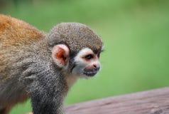 在木头供以座位的小的猴子 库存图片