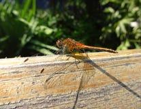 在木头和绿叶背景的蜻蜓  免版税库存照片