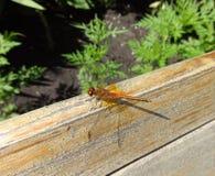 在木头和绿叶背景的蜻蜓  库存照片