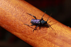 在木头的发光的紫色甲虫Callidium violaceum 免版税库存照片