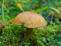 在木头的可食的蘑菇 免版税库存图片