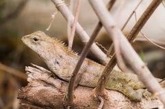 在木头的大典型的橙色蜥蜴 免版税库存图片
