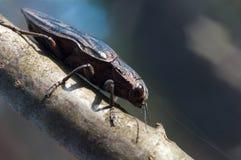 在木头的大臭虫甲虫宏指令 免版税库存照片