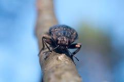 在木头的大臭虫甲虫宏指令 免版税图库摄影