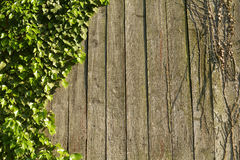 在木头的常春藤 免版税库存照片