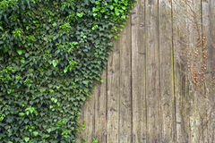 在木头的常春藤 库存图片