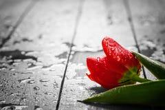 在木头的新鲜的红色郁金香花 弄湿,早晨春天露水 免版税库存图片