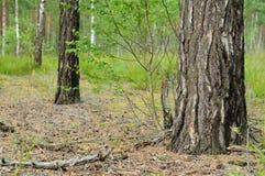 在木头的桦树树干 免版税库存图片