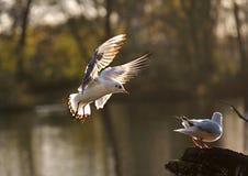 在木头的海鸥立场,飞行到树 库存图片