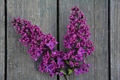 在木头的淡紫色分支 库存图片