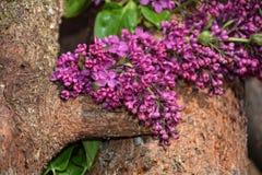 在木头的淡紫色分支 免版税库存图片
